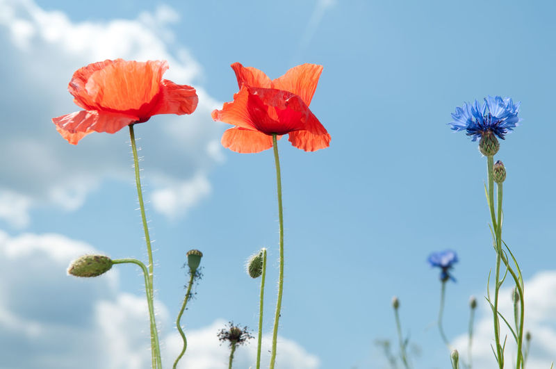 Close-Up Of Poppy Flowers Against Sky