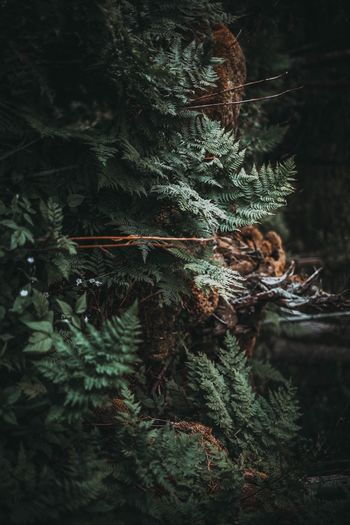 Tree Growth Nature No People Plant Green Color Pine Tree Forest Leaf Beauty In Nature Christmas Tree Spruce Tree Day Branch Fern Close-up Fir Tree Freshness
