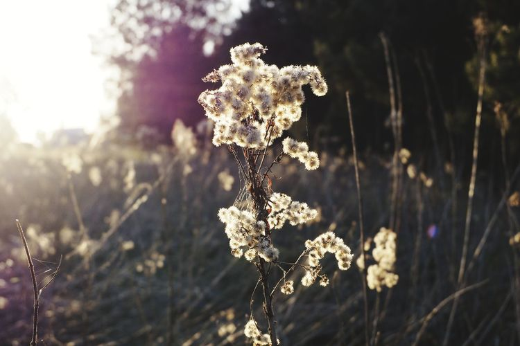 Sunrays Sunset Flare Lens Flare Nature_collection Shadows & Lights Nature Wildflower Twig Nature Photography Plant Life Wildflowers Wildlife & Nature Flower Tree Cold Temperature Sunlight Close-up Plant Grass Needle - Plant Part Streaming Sunbeam Sun My Best Photo