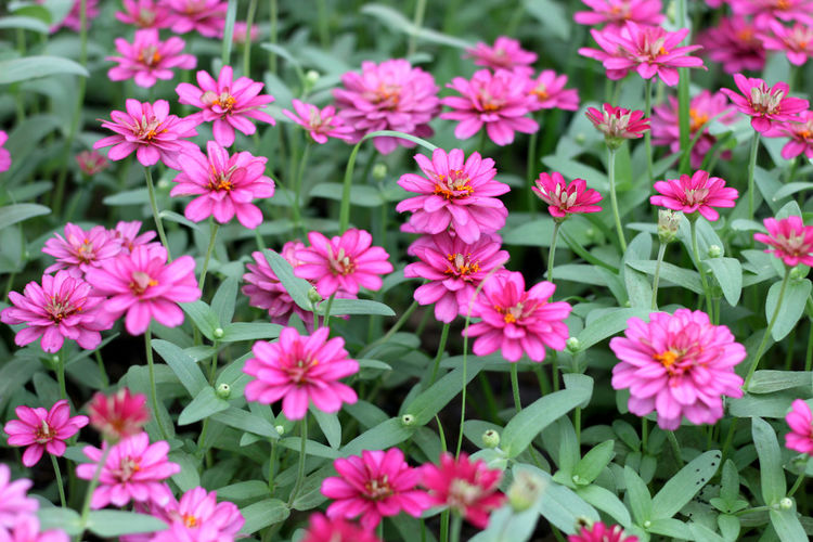 Zinnia flowers bloom at park. Nature Outdoors Growth Beauty In Nature Garden Background Wallpaper No People Flower Head Colorful Pink Color Decorative Season  Natural Good Weather Landscape Sunlight Blooming Beauty In Nature Blossom Walkway Purple