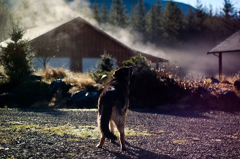 Howlin Howling Dog German Shepherd Misty Morning Cold Frost