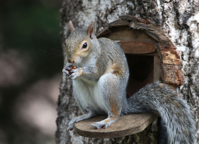 Grey Squirrel Animal Wildlife Animal Animal Themes Animals In The Wild Tree Mammal Rodent One Animal Eating Tree Trunk Focus On Foreground Squirrel Trunk Branch Food Day Vertebrate Plant Holding No People Outdoors