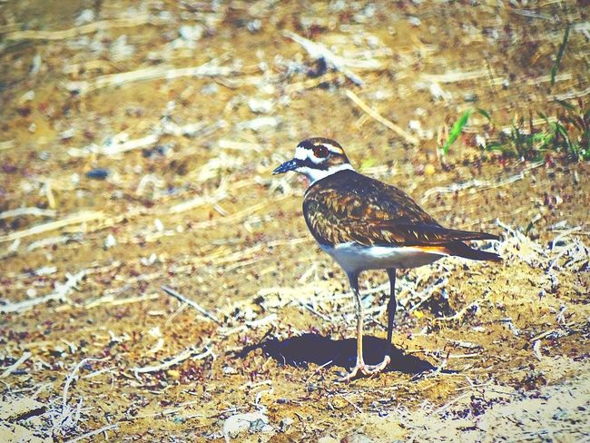 Bird One Animal Animals In The Wild Animal Themes No People Animal Wildlife Day Perching Nature Outdoors Worland WY Wyoming Beauty In Nature Field Green Color Animals In The Wild Grass Killdeer Close-up