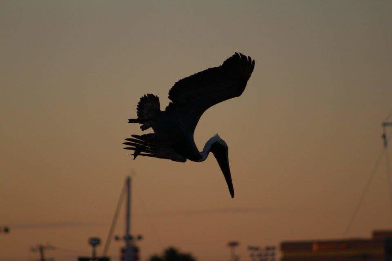 flying, bird, animals in the wild, sunset, spread wings, animal themes, one animal, mid-air, animal wildlife, silhouette, nature, no people, motion, outdoors, beauty in nature, clear sky, sky, low angle view, water, day, bird of prey, close-up