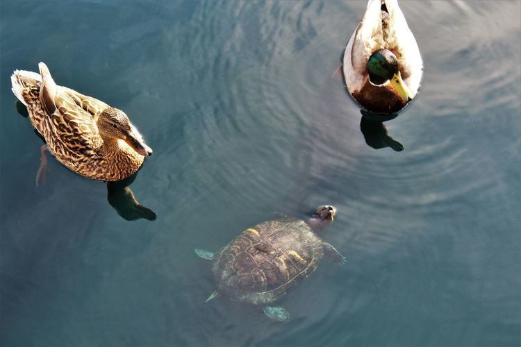 High angle view of mallard dusks and turtle swimming in lake