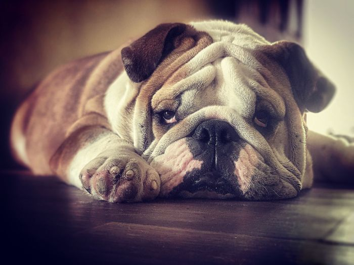 #bulldog Indoors  Mammal No People Pets Dog Looking At Camera