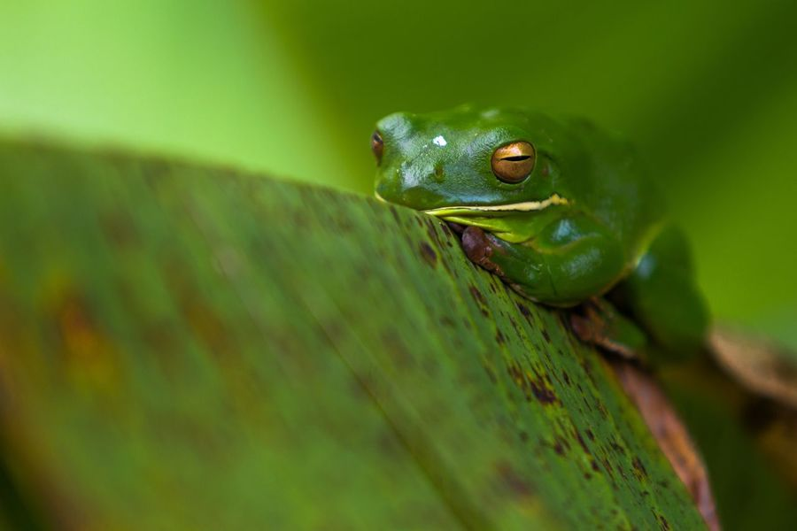 The frog sleep on banana leaf On Leaf Macro Nature Frogonleaf Frog Animals In The Wild One Animal Green Color Animal Themes Reptile No People Animal Wildlife Outdoors Close-up Nature Day