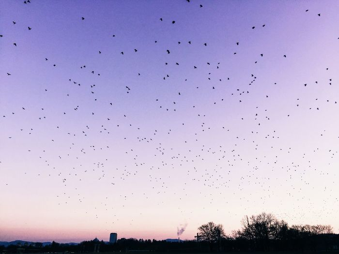 Flock of birds flying against clear sky during sunset