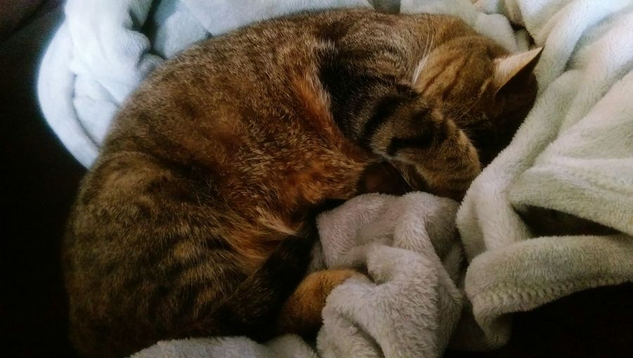 Cat Sleeping Animals Pets Curled Up Blanket Cute Relaxing Showcase March
