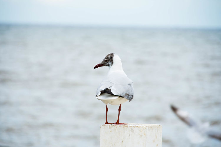 Black-Headed Gull Perching On Fence Against Sea