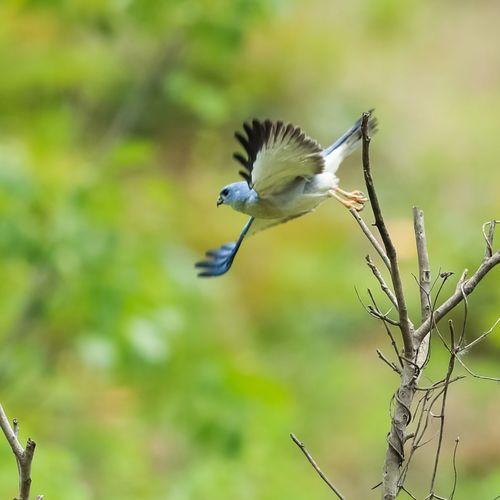 赤腹鹰 Bird Spread
