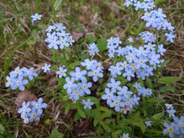 Purist No Edit No Filter Flowers Of EyeEm Smartphone Photography Outdoor Photography Blue Flowers Myosotis Myosotis Sylvatica