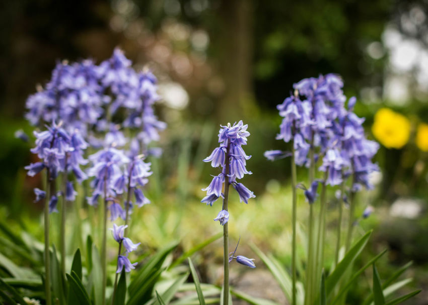 Beauty In Nature Blooming Bluebells Bokeh Close-up Day Field Flower Flower Head Fragility Freshness Growth Nature No People Outdoors Plant Purple Uk Summer