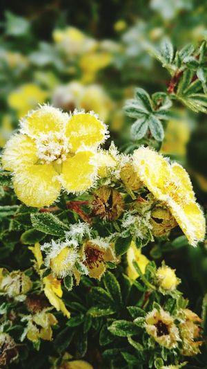 Flowers Frosty Morning Frosted Floweer Beautiful Cold Day Flower Collection Nature On Your Doorstep Wintertime ⛄