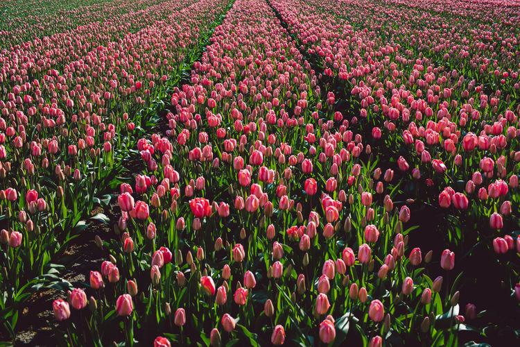 Full frame shot of pink tulip flowers on field