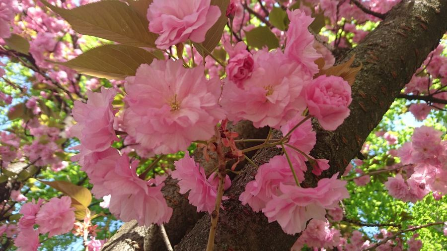Close-up of pink flowers on tree