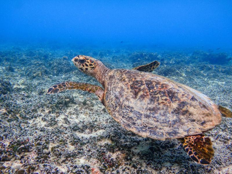 Snorkeling with a Turtle on Navini Island. Ampimages Turtle Snorkeling Fiji
