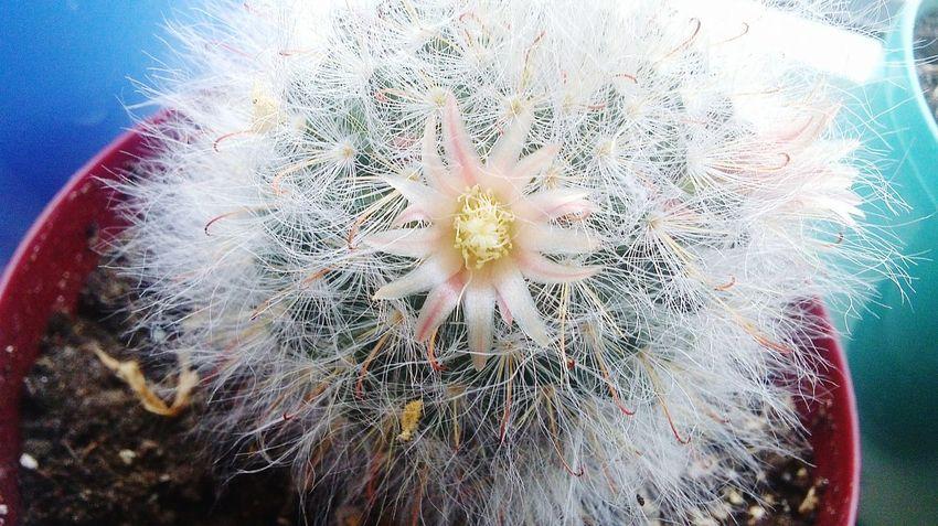 кактус цветок  Иголки