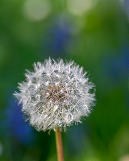 dandelion Nature Beauty In Nature Blooming Bokeh In Background Close-up Dandelion Dandelion Seed Head Day Flower Flower Head Focus On Foreground Fragility Freshness Garden Growth Nature No People Outdoors Petal Plant
