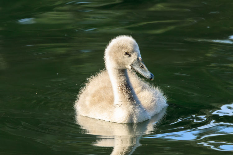 A mute swan cygnet. The mute swan is a species of swan and a member of the waterfowl family Anatidae. It is native to much of Europe and Asia, and the far north of Africa. It is an introduced species in North America, Australasia and southern Africa. Animal Themes Animals Bird Photography Birds Cygnet Cygnus Olor Mute Swan Surrey Swimming Uk Water Bird Wildlife Wildlife & Nature Wildlife Photography Young Bird