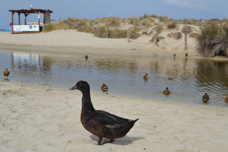 Animals In The Wild Freedom A Animal Themes Animal Wildlife Animals In The Wild Baleares Beach Beauty In Nature Bird Black Swan Day Duck Ducks At The Lake Lake Menorca Menorca Beach Nature No People Outdoors Sky Swan Swimming Water