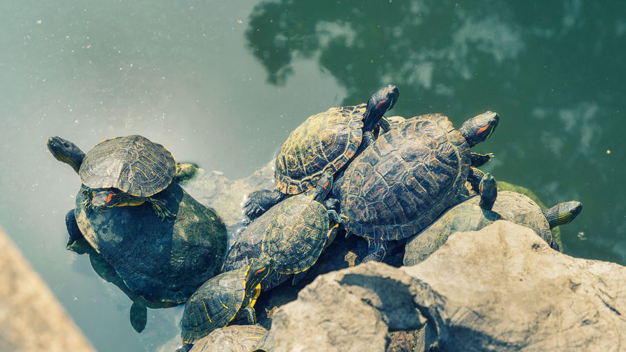 bask in the sun Turtle Reptile Water Animal Lake Group Of Animals Shell Rock No People Outdoors Amphibian Day