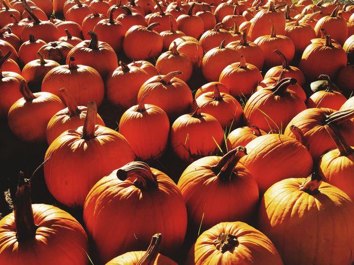 Pumpkins Pumpkinpatch Autumn Pennsylvania