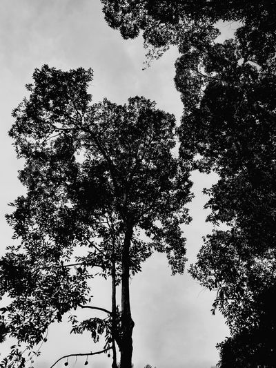 Durian Tree (black & white) Black And White Photography Black And White Black & White Durian Fruit Durian Season King Fruit Malaysia Fruits Durian Farm Pixelated Tree Silhouette Bird Sky Close-up Sky Only Branch Growing Tree Trunk Bare Tree Plant Bark Bark Woods