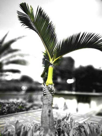 Palm Tree The Green Outdoor Photography Dual Tone