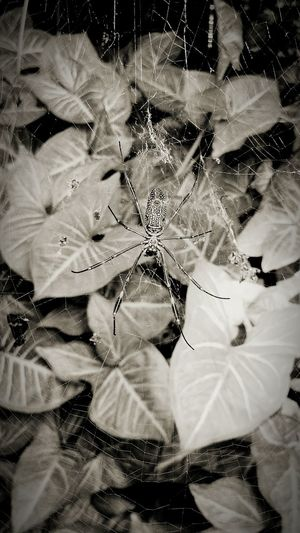 Green Color Leaf Plant Nature No People Backgrounds Spider Web Fragility Close-up Beauty In Nature Animal Themes Outdoors Spider Day Web Black And White Friday
