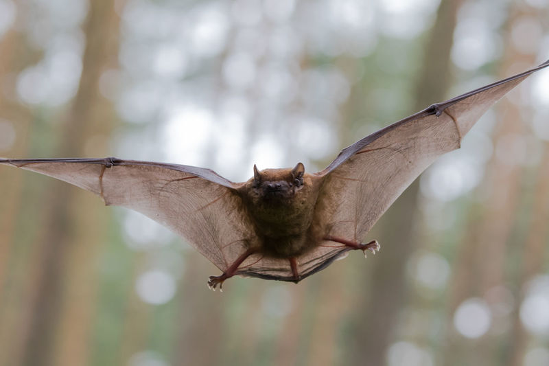 Great flying Bat in a german forest Vampire Trees Species Protection Forest Halloween Bat Spread Wings Outdoors Flying Nature Close-up Animal Wing Focus On Foreground Animals In The Wild One Animal Animal Themes Animal Animal Wildlife Day