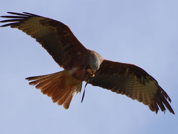 Red Kite In Flight Birds Of Prey Birds Stunning Beautiful Nature Red Kite Stonham Barns Suffolk United Kingdom