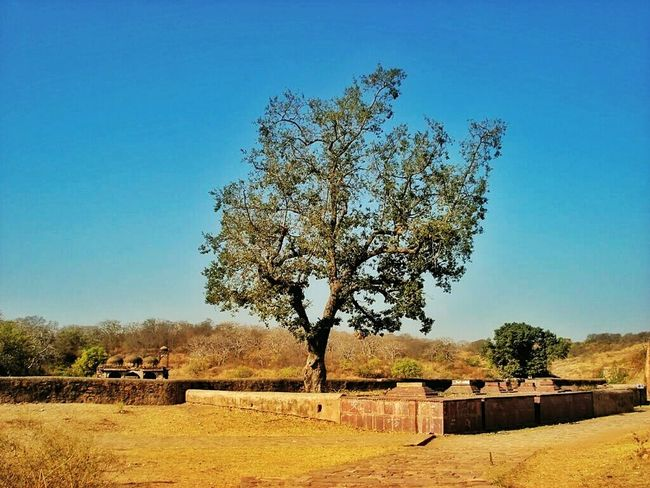 Tree And Sky Tree Tree Of Life Standing Alone Standing Still Ranthambore Rajasthan India Evening Time Nopeople Nature Evening Trees Incredible India Incredibleindia