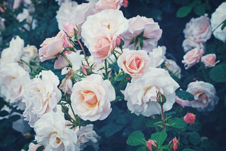 Rosas Rosas Y Espinas Rosas Bonitas❤️🌹 Rosasparaotrarosa