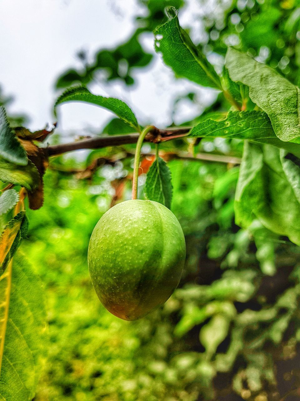 food, food and drink, fruit, healthy eating, freshness, green color, plant, growth, leaf, plant part, wellbeing, focus on foreground, close-up, no people, nature, tree, day, vegetable, outdoors, tomato, ripe, passion fruit