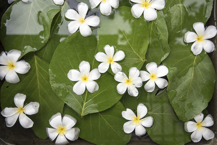 Winter Beauty In Nature Floating On Water Flower Flower Collection Leaf Petal Wet Flowers Wet Leaf White Color