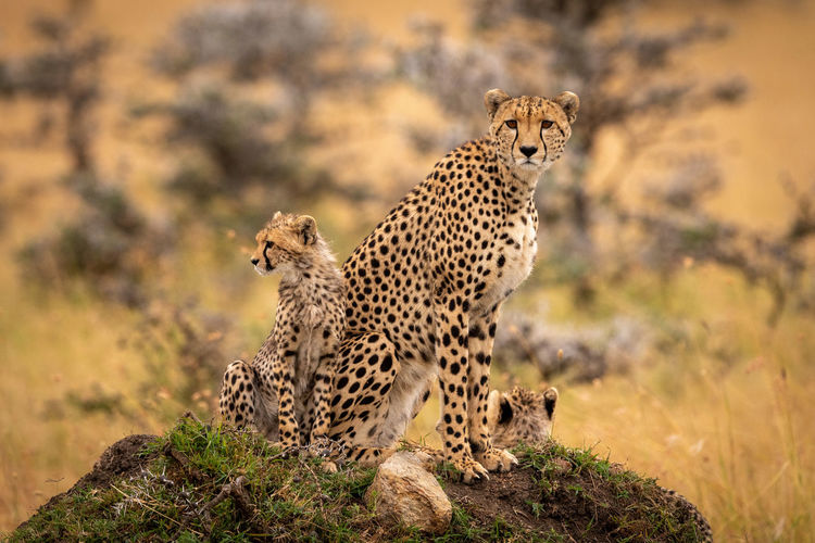 Cheetahs sitting on rock in forest