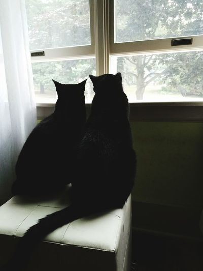 Black Cats Are Beautiful Cat Sillouette Looking Outside Kitty Window Seat Pet Love Cute Pets Twin Kitties Watching For Birds Watching For Squirrels Two Is Better Than One