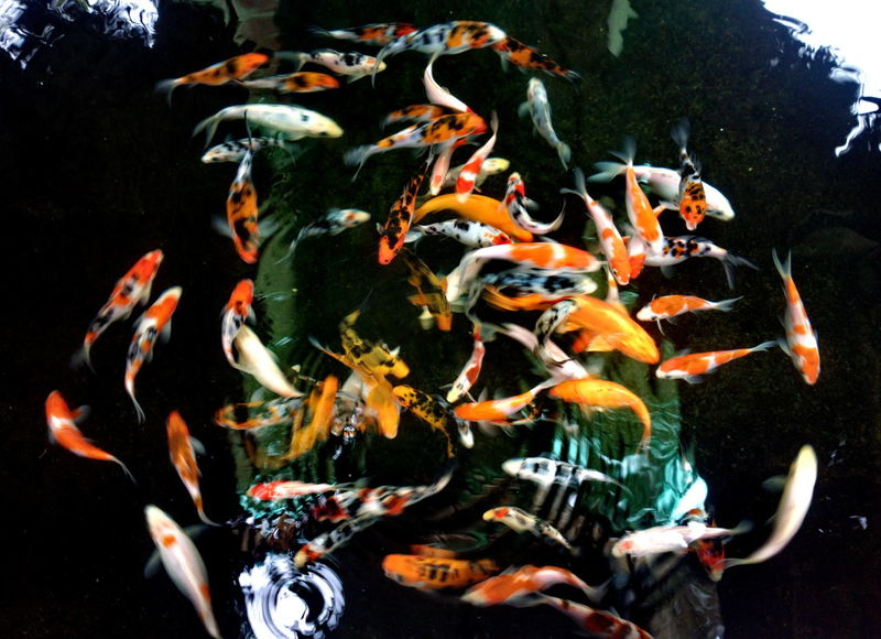 Fancy carp fish Animal Themes Colorful Fancy Carp Fish Fish Focus On Foreground Multi Colored Swimming Thai