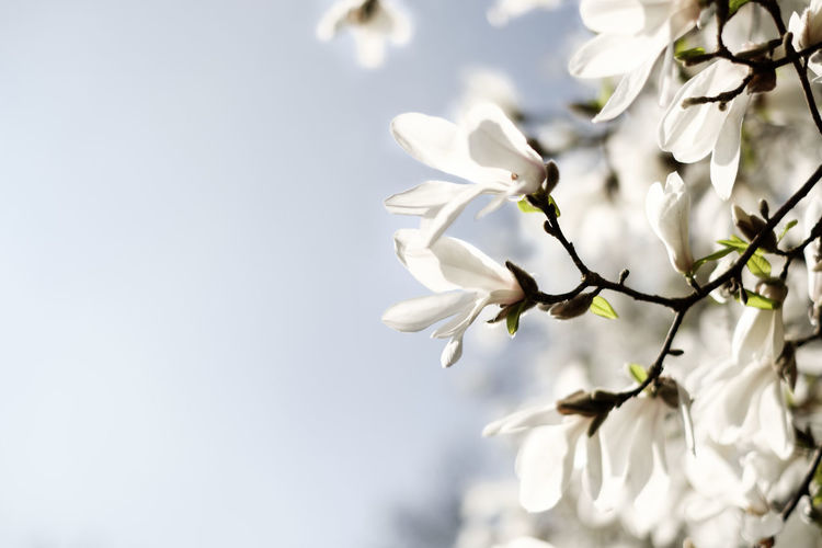 Flower Head Tree Flower Branch Springtime Ethereal Blossom White Color Close-up Sky Magnolia In Bloom Flowering Plant Plant Life Botany Blooming