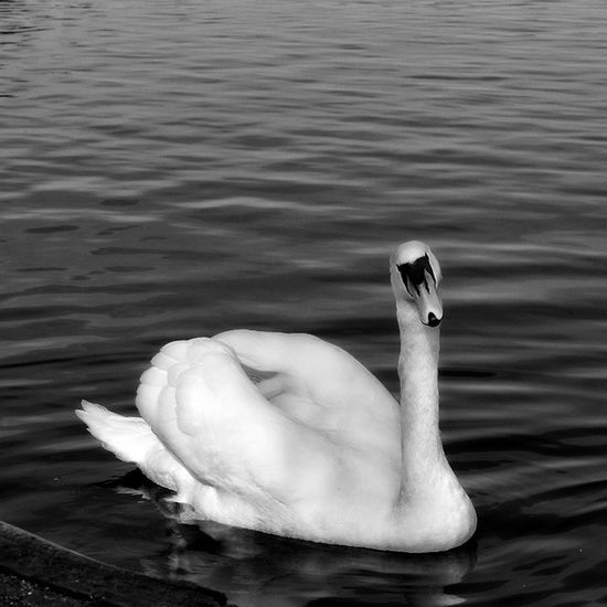 This swan couldn't have looked at me any sweeter if she tried 😍 Photo Photos Pic Pics Picture Pictures Beautiful Instagood Composition Focus Capture Nature View Followme Follow VSCO Vscocam Scenery Ig_great_shots Ig_great_pics Princely_shotz Inspiring_photography_admired Ig_global_life Procaptures Amateur_photographers_united nature_obsession_landscapes divinafotografia
