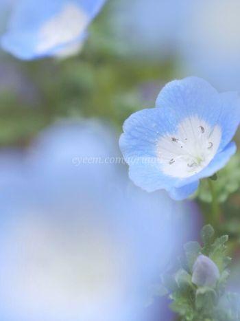 Nemophilas has blooming♥ネモフィラたんが咲き始めました( ˘ω˘ )♡お花ってどのアルバムにいれてる?Macro_flower Flower_Collection Flowerporn Flowers