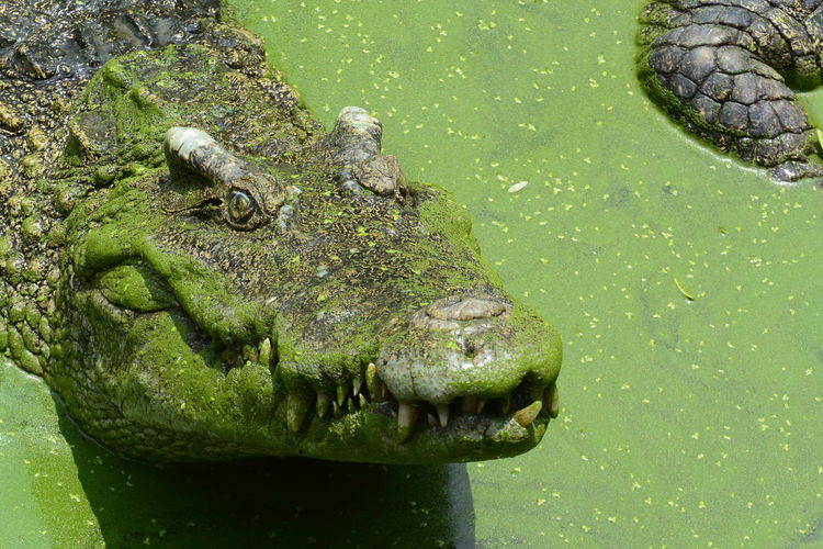 High angle view of crocodile with algae in lake
