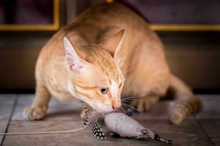 Close-Up Of Playful Cat With Toy On Floor
