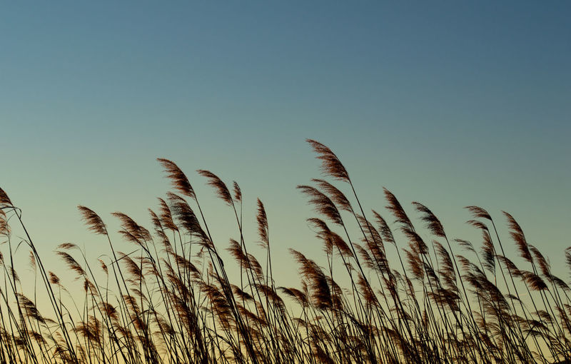 Close-up of stalks against clear sky at sunset