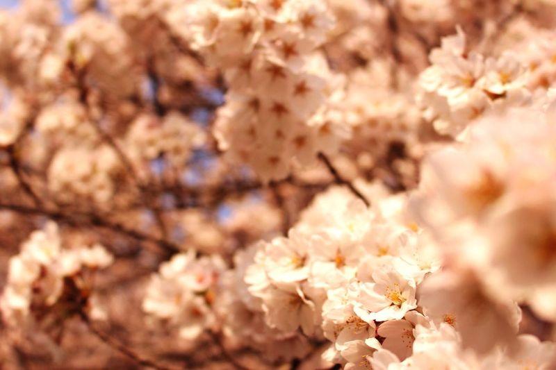 大河原 Sakura