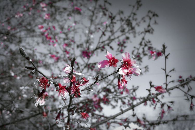 Low Angle View Of Pink Cherry Blossoms On Tree