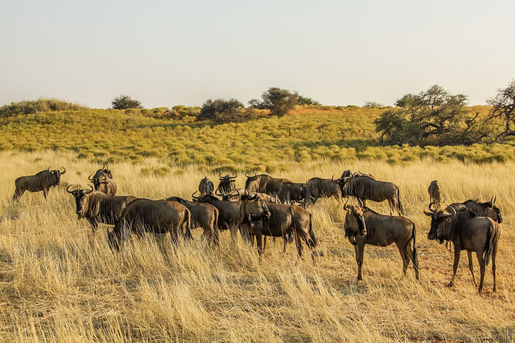 Wildebeests on landscape against clear sky