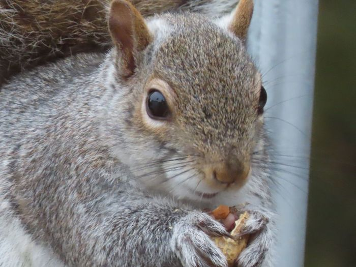 Squirrel eating a peanut closeup facing camera animal themes EyeEm nature lover One Animal Animal Wildlife Close-up Rodent No People