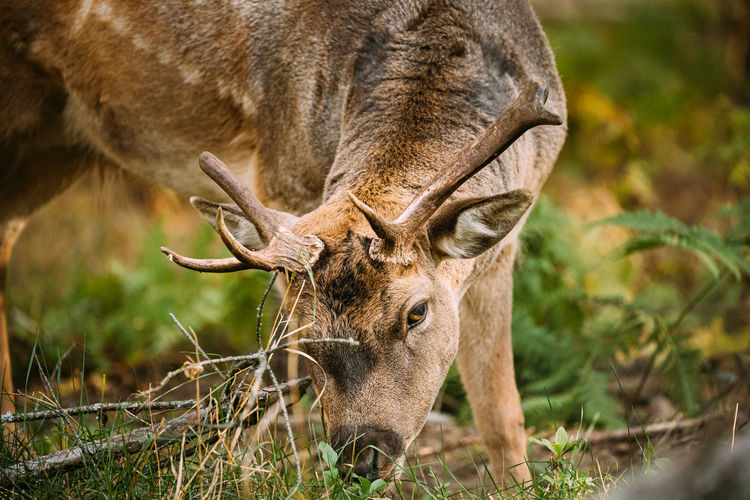 Close-up of deer grazing on field